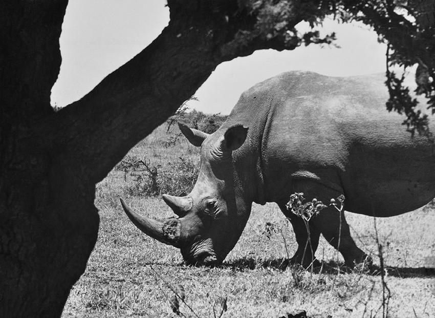 ImerGuala rinoceronte